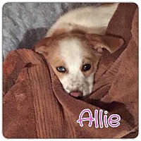 Adopt A Pet :: Allie - Valley Stream, NY