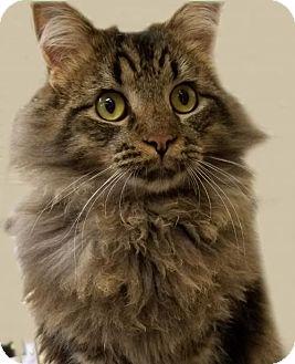 Domestic Longhair Kitten for adoption in Verona, Wisconsin - Casey