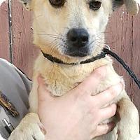 Adopt A Pet :: Blaze - Boulder, CO