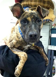 Shepherd (Unknown Type)/Greyhound Mix Dog for adoption in North Olmsted, Ohio - Rory