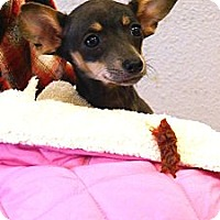Adopt A Pet :: Autum tiny pocket pup - Sacramento, CA