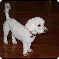 Poodle (Miniature) Mix Dog for adoption in bronx, New York - Fred
