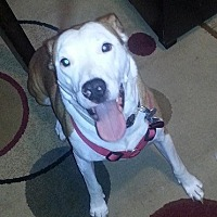 American Pit Bull Terrier Mix Dog for adoption in Fredericksburg, Virginia - Chino- Courtesy listing