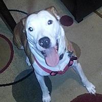 Adopt A Pet :: Chino- Courtesy listing - Fredericksburg, VA