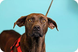 Labrador Retriever Mix Dog for adoption in Carlisle, Tennessee - Suzie