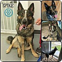 Adopt A Pet :: Spike - Kimberton, PA