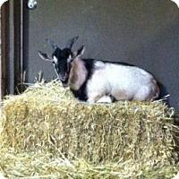 Adopt A Pet :: Bruce - Fairport, NY