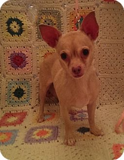 Chihuahua Dog for adoption in Savannah, Georgia - Mocha