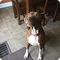 German Shorthaired Pointer/Terrier (Unknown Type, Medium) Mix Dog for adoption in Hutchinson, Kansas - Milo