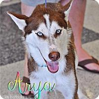Adopt A Pet :: Arya - Carrollton, TX