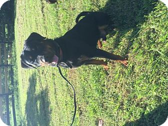 Rottweiler Dog for adoption in Oviedo, Florida - Pharell