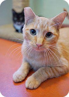 Domestic Shorthair Cat for adoption in Alameda, California - Pete