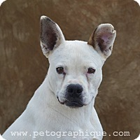Boxer Mix Dog for adoption in Las Vegas, Nevada - Cher