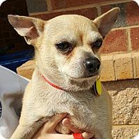 Chihuahua Mix Dog for adoption in Mount Pleasant, South Carolina - Peanut