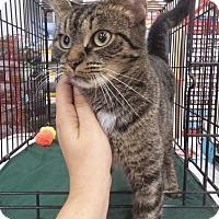 Domestic Shorthair Cat for adoption in Northfield, Ohio - China