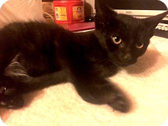 Domestic Shorthair Kitten for adoption in Sparta, New Jersey - Pie
