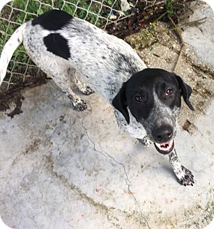 Pointer Mix Dog for adoption in Key Biscayne, Florida - Ruthy