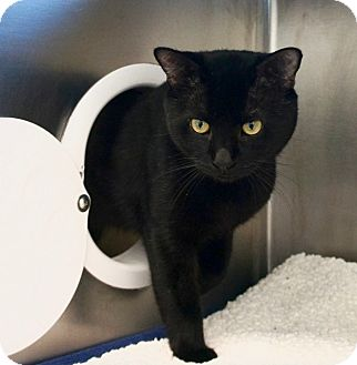Domestic Mediumhair Cat for adoption in Boston, Massachusetts - A332795