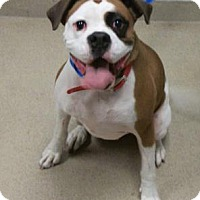 Adopt A Pet :: Scarlett - Wooster, OH