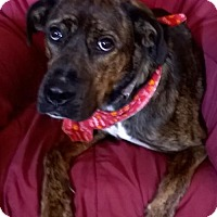 Boxer Mix Dog for adoption in Campbell, California - Coco