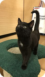 Domestic Shorthair Kitten for adoption in Barrington Hills, Illinois - Glen Ellen 4