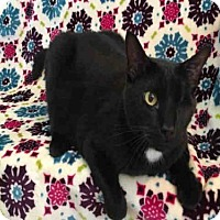 Domestic Mediumhair Cat for adoption in Urbana, Illinois - JACKSON