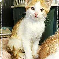 Adopt A Pet :: Freddie 2 - Los Alamitos, CA