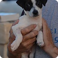 Adopt A Pet :: Dash - Vista, CA