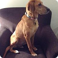 Redbone Coonhound Dog for adoption in Milton, Ontario - Daisy