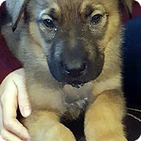 German Shepherd Dog/Retriever (Unknown Type) Mix Puppy for adoption in Detroit, Michigan - Jangle-Pending!