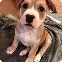 Adopt A Pet :: Bud - Rochester, NH