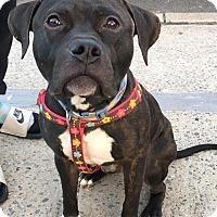 Adopt A Pet :: Bentley - Bronx, NY
