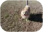 Pomeranian Mix Dog for adoption in Chesapeake, Virginia - Brently