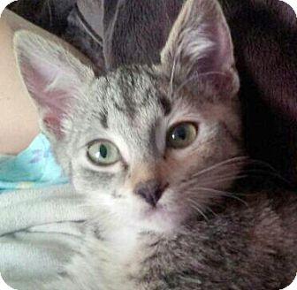 Domestic Shorthair Kitten for adoption in Irvine, California - Macy
