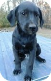 Labrador Retriever Mix Puppy for adoption in Washington, D.C. - Sonny