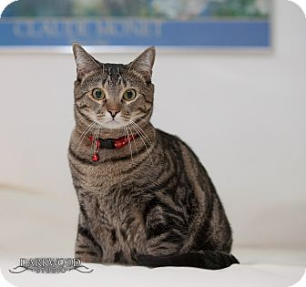 Domestic Shorthair Cat for adoption in St. Louis, Missouri - Jem