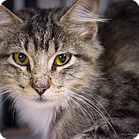 Domestic Mediumhair Cat for adoption in Bulverde, Texas - Sir