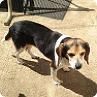 Adopt A Pet :: Livvy - Novi, MI