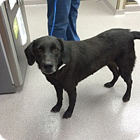 Adopt A Pet :: Callie - Cumming, GA