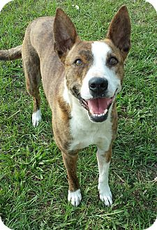 Australian Kelpie/Bull Terrier Mix Dog for adoption in Williston, Florida - Tessa