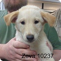 Adopt A Pet :: Zeva - baltimore, MD