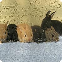 Adopt A Pet :: Baby bunnies!! - Bonita, CA