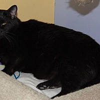 Domestic Mediumhair Cat for adoption in Shelbyville, Tennessee - Buddha
