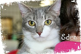 Domestic Shorthair Kitten for adoption in Wichita Falls, Texas - Eden