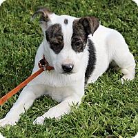Adopt A Pet :: Tate - Spring Valley, NY