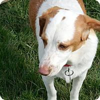 Adopt A Pet :: Lil Bit - Howell, MI