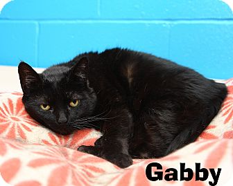 Domestic Shorthair Cat for adoption in Oakland, New Jersey - Gabby