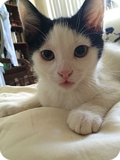Domestic Shorthair Kitten for adoption in Pasadena, California - Miss Top Hat