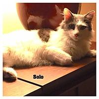 Domestic Mediumhair Cat for adoption in Monrovia, California - Solo