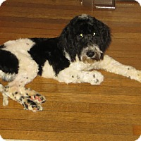Adopt A Pet :: Dexie - New Middletown, OH